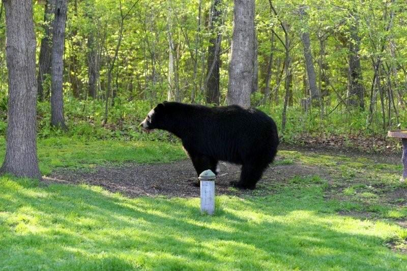 a black bear strolls into a backyard in northern Minnesota
