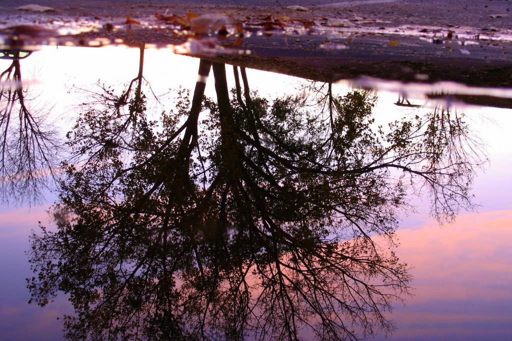 crouching down low, looking into a puddle for this reflection shot of a tree.