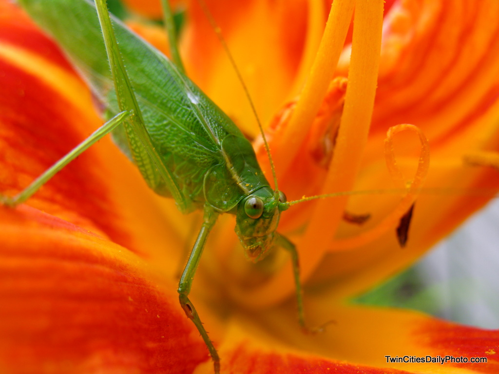 A photo of a green cadydid in my garden over the weekend resting on my orange lily's.